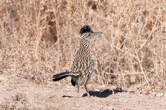 Greater roadrunner. Standing along a dirt path in New Mexico stock images