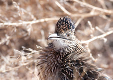 Greater roadrunner. Standing along a dirt path in New Mexico royalty free stock photography
