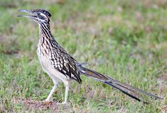 Greater Roadrunner. (Geococcyx californianus) in profile. Shot at Buchanan Dam, Texas royalty free stock image