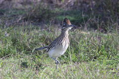 Greater Roadrunner Geococcyx californianus. A Greater Roadrunner (Geococcyx californianus) at the Laguna Atascosa National Wildlife Refuge in South stock images