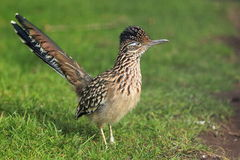 Greater Roadrunner Stock Photos
