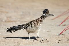 Greater Roadrunner. A Roadrunner making its way through a campsite in the furnace creek area of Death Valley National Park royalty free stock image