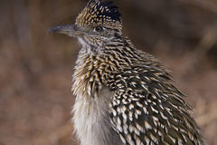 Greater Roadrunner. Close up greater roadrunner in the bosque del apache new mexico wildlife reserve royalty free stock photography