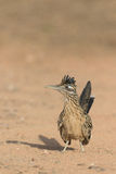 Greater Roadrunner on Alert Stock Image