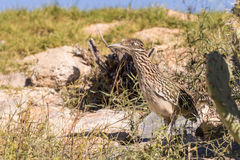 Greater Roadrunner Stock Photography