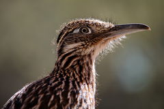 Greater Roadrunner Bird. A detailed closeup image of a wild desert Roadrunner royalty free stock photography