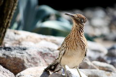 Greater Roadrunner Bird. A detailed image of a wild Greater Roadrunner bird in the Sonoran Desert near Tucson, Arizona stock images