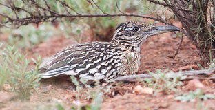 Greater Roadrunner bird crouched in the brush. Greater Roadrunner (Geococcyx californianus) crouched in the brush stock images