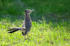 The greater roadrunner bird Geococcyx californianus. The greater roadrunner Geococcyx californianus bird standing in the grass in springtime Texas Royalty Free Stock Images