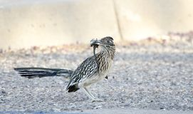 Greater Roadrunner bird with lizard in beak, Tucson Arizona, USA. Greater Roadrunner bird, Geococcyx californianus. Photographed in the southwest desert of stock images