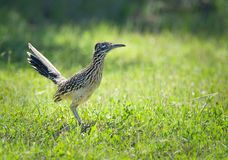 The greater roadrunner bird in the grass. The greater roadrunner Geococcyx californianus bird standing in the grass in springtime Texas stock photography