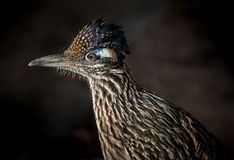 Greater Roadrunner Bird. Running, Arizona USA Sonoran Desert stock photos
