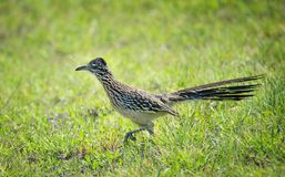 The greater roadrunner bird running in the grass. The greater roadrunner Geococcyx californianus bird running through the grass in springtime Texas royalty free stock image