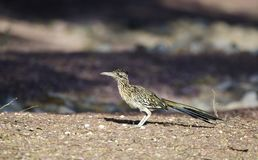 Greater Roadrunner bird, southwest desert, Tucson Arizona. Greater Roadrunner bird, Geococcyx californianus. Photographed in the southwest desert of Tucson in royalty free stock image