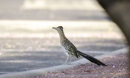 Greater Roadrunner bird, southwest desert, Tucson Arizona. Greater Roadrunner bird, Geococcyx californianus. Photographed in the southwest desert of Tucson in stock photography