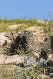 Greater Roadrunner Close Up Stock Photography
