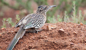 Greater Roadrunner crouched on mound of dirt. Greater Roadrunner (Geococcyx californianus) crouched on mound of dirt stock photo