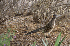 Greater Roadrunner Stock Photo