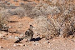 Greater Roadrunner in Desert Royalty Free Stock Image