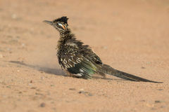 Greater Roadrunner Dusting Royalty Free Stock Photo