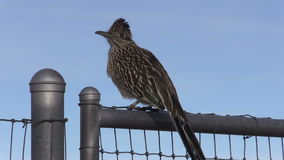 Greater Roadrunner on Fence stock footage