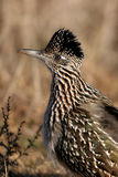 Greater Roadrunner, Geococcyx californianus. Profile portrait of a Greater Roadrunner, with raised crest Stock Photos
