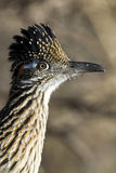 Greater Roadrunner, Geococcyx californianus. Close-up profile portrait of a Greater Roadrunner with a raised crest and blue and orange feathers behind his eye stock image