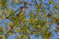 Greater Roadrunner, Geococcyx californianus Royalty Free Stock Images