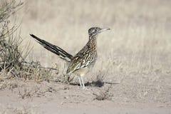 Greater Roadrunner (Geococcyx californianus). In the New Mexico desert Stock Photo