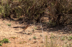 Greater roadrunner, Geococcyx californianus, bird eats a lizard. In the Laguna Beach wilderness in Orange County, California stock image