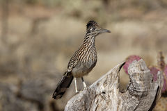 Greater roadrunner, Geococcyx californianus. On a branch royalty free stock photos
