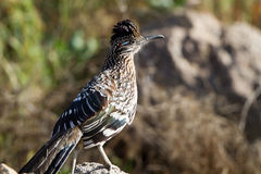 Greater Roadrunner, Geococcyx californianus Royalty Free Stock Photography