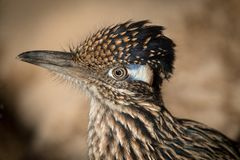 Greater Roadrunner Geococcyx californianus close up. Of Head and shoulders Royalty Free Stock Photography