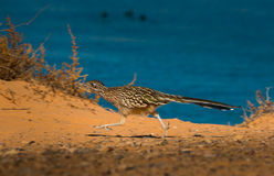 Greater Roadrunner Geococcyx californianus Stock Photos