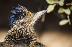 Greater roadrunner Geococcyx californianus Stock Image