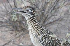 Greater Roadrunner (Geococcyx californianus). In the desert stock photos