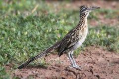 Greater Roadrunner (Geococcyx californianus). In the desert Stock Photo