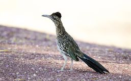 Greater Roadrunner, Tucson Arizona desert. The greater roadrunner, Geococcyx californianus, is a long-legged bird in the cuckoo family, Cuculidae, from stock photography