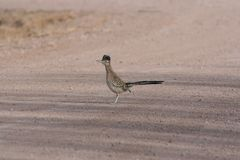 Greater Roadrunner Geococcyx californianus. A Greater Roadrunner Geococcyx californianus in new mexico Stock Photo