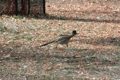 Greater Roadrunner Geococcyx californianus. A Greater Roadrunner Geococcyx californianus in new mexico royalty free stock photos