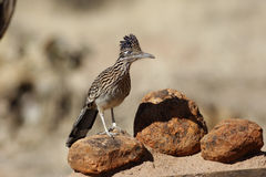 Greater roadrunner, Geococcyx californianus. On rocks Royalty Free Stock Photo