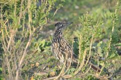 Greater Roadrunner Geococcyx californianus sitting in a California native plant shrub Stock Images