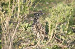 Greater Roadrunner Geococcyx californianus sitting in a California native plant shrub Stock Photo