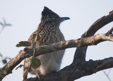 Greater Roadrunner Geococcyx californianus sitting in a tree. In the cuckoo family, Cuculidae, from Southwestern United States and Mexico. The Latin name means royalty free stock photo