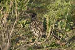 Greater Roadrunner Geococcyx californianus sitting in a tree Royalty Free Stock Images