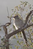 Greater Roadrunner Geococcyx californianus sitting in a tree Royalty Free Stock Photos
