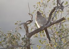 Greater Roadrunner Geococcyx californianus sitting in a tree. In the cuckoo family, Cuculidae, from Southwestern United States and Mexico. The Latin name means stock photography