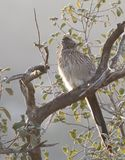 Greater Roadrunner Geococcyx californianus sitting in a tree Stock Image