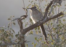 Greater Roadrunner Geococcyx californianus sitting in a tree. In the cuckoo family, Cuculidae, from Southwestern United States and Mexico. The Latin name means Stock Photo