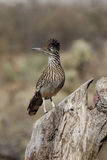 Greater roadrunner, Geococcyx californianus Stock Images